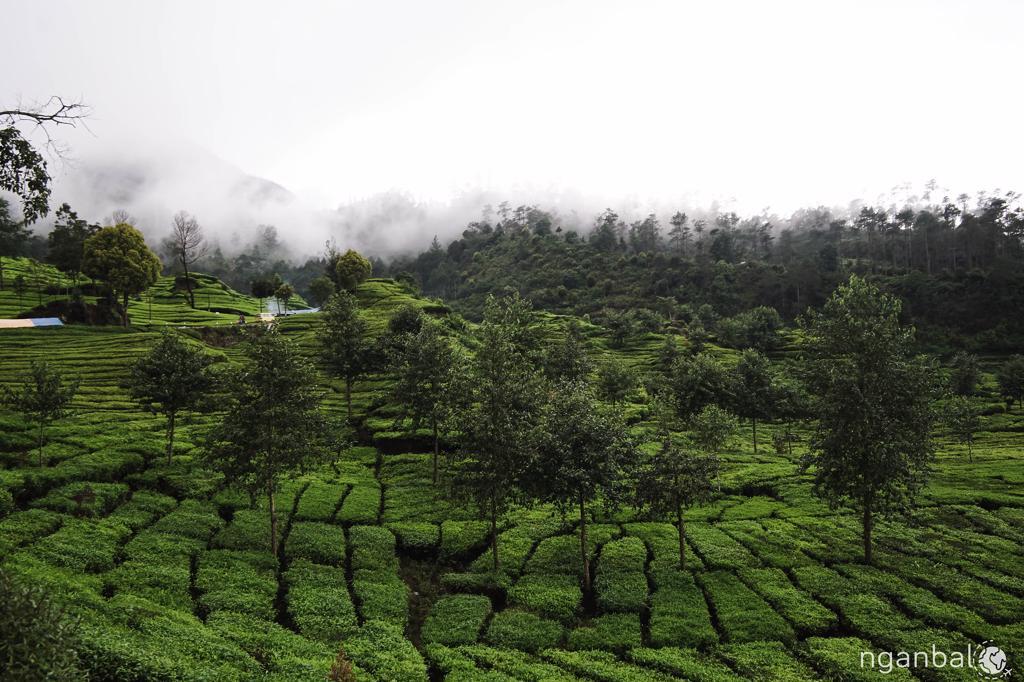 đồi trà ở Bandung